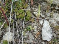 Горноколосник колючий (Orostachys spinosa)