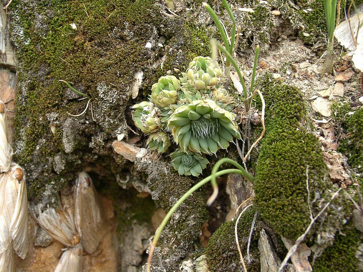 Горноколосник колючий (Orostachys spinosa) Автор фото: Ольга Кузнецова