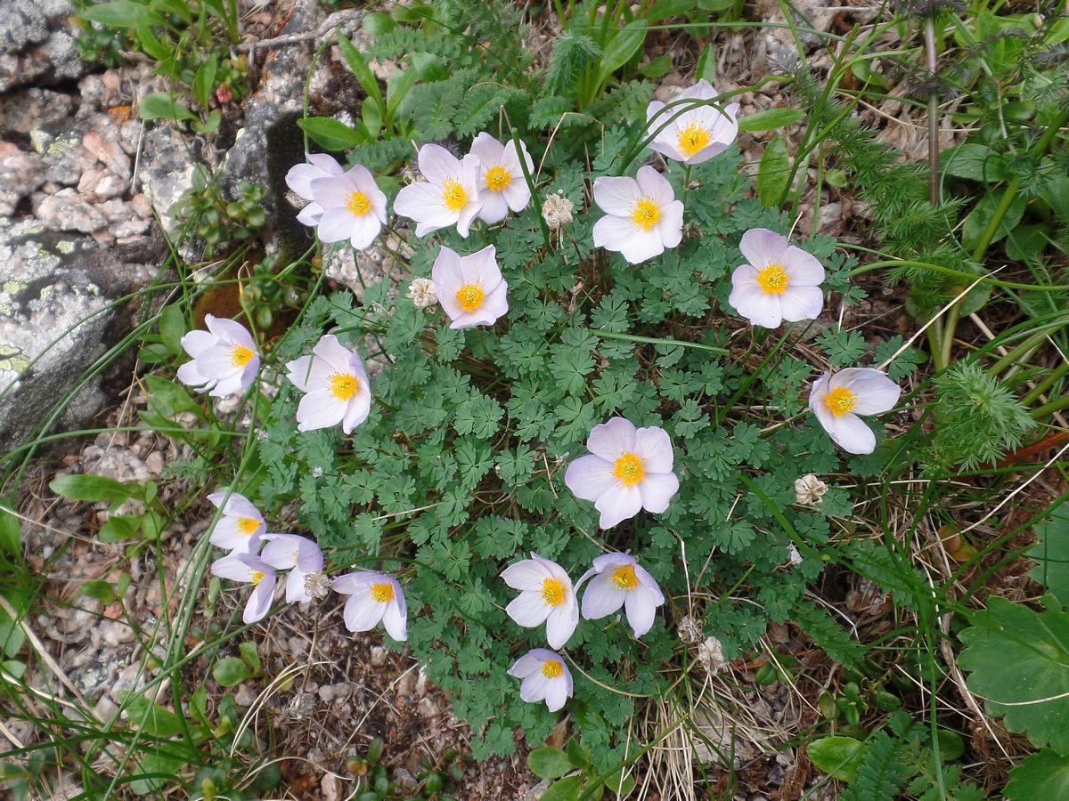 Лжеводосбор мелколистный (Paraquilegia microphylla). Автор фото: Ольга Кузнецова