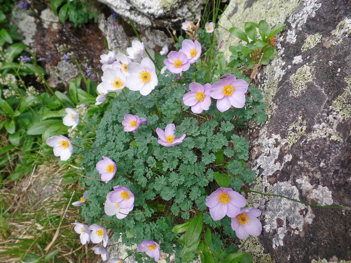 Лжеводосбор мелколистный (Paraquilegia microphylla). Автор фото:Ольга Кузнецова
