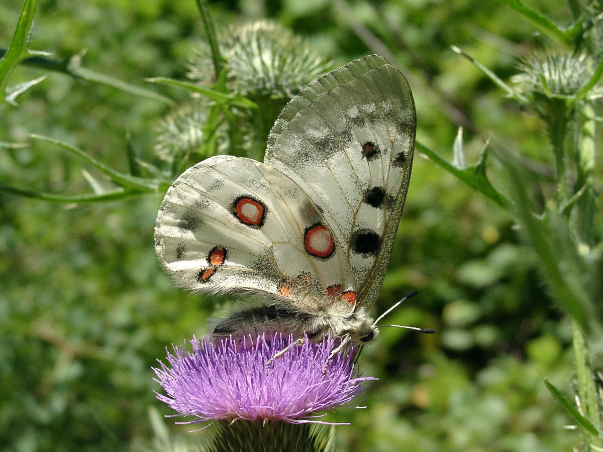 Бабочка Аполлон (Parnassius apollo). Автор фото:Ольга Кузнецова