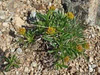 Патриния сибирская (Patrinia sibirica)