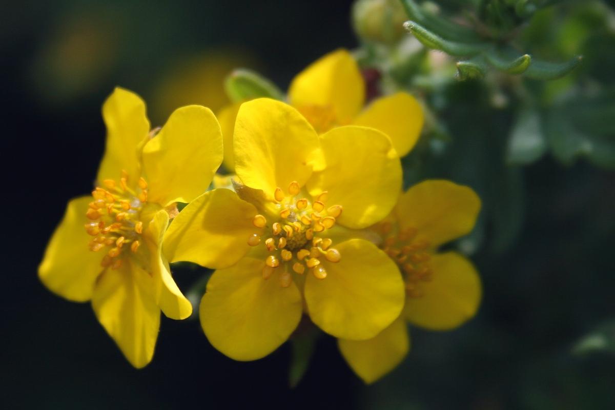 Лапчатка кустарниковая, пятилистник кустарниковый (Pentaphylloides fruticosa). Автор фото: Ольга Кузнецова