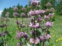 s:травянистые,i:многолетние,c:фиолетовые или лиловые,c:розовые