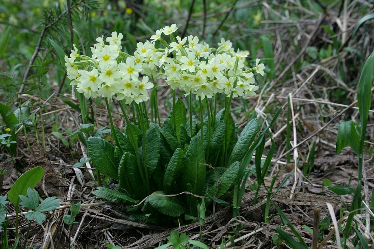 Первоцвет Палласа (Primula pallasii) Автор фото: Ольга Кузнецова