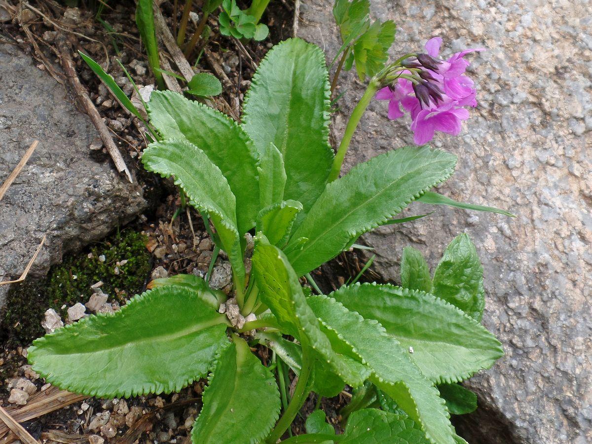 Первоцвет снежный (Primula nivalis). Автор фото:Ольга Кузнецова