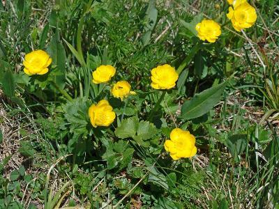 Лютик алтайский (Ranunculus altaicus) Автор: Ольга Кузнецова