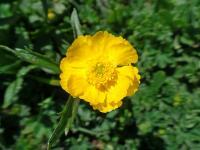 s:травянистые,c:желтые,лепестков 5,околоцветник актиноморфный