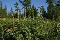 s:травянистые,s:розеточные,околоцветник актиноморфный,околоцветник сростнолепестный,лепестков 5,b:прямостоячий,i:редкие и охраняемые,i:лекарственные,l:очередные,соцветия - корзинки,f:семянка,c:фиолетовые,c:лиловые