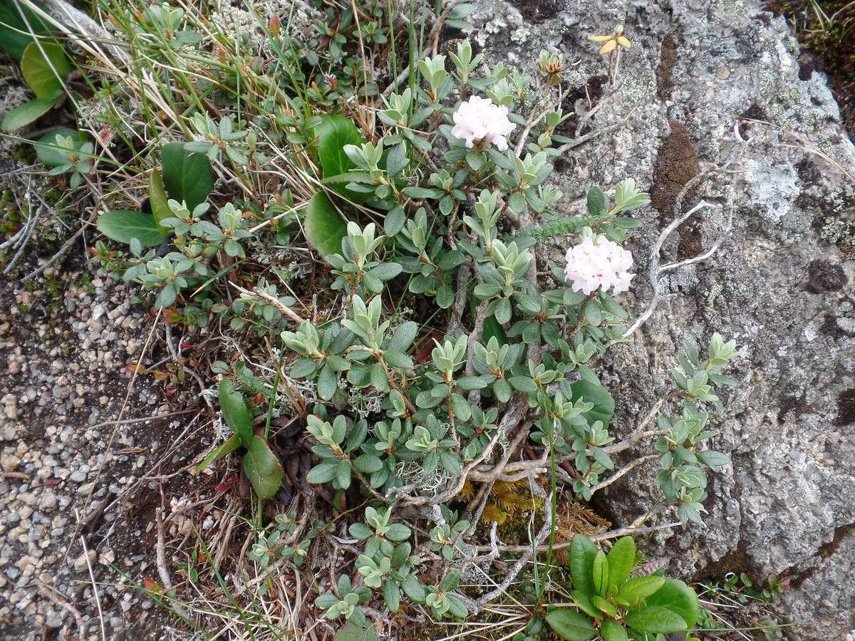 Рододендрон Адамса (Rhododendron adamsii). Автор фото:Ольга Кузнецова