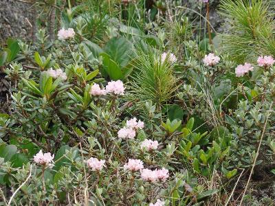 Рододендрон Адамса (Rhododendron adamsii) Автор: Ольга Кузнецова
