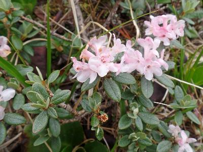 Рододендрон Адамса (Rhododendron adamsii). Автор: Ольга Кузнецова