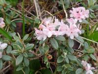 s:кустарнички,s:кустарники,c:розовые,b:ползучий,околоцветник актиноморфный,лепестков 5,c:1-2 см,c:до 1 см,c:белые