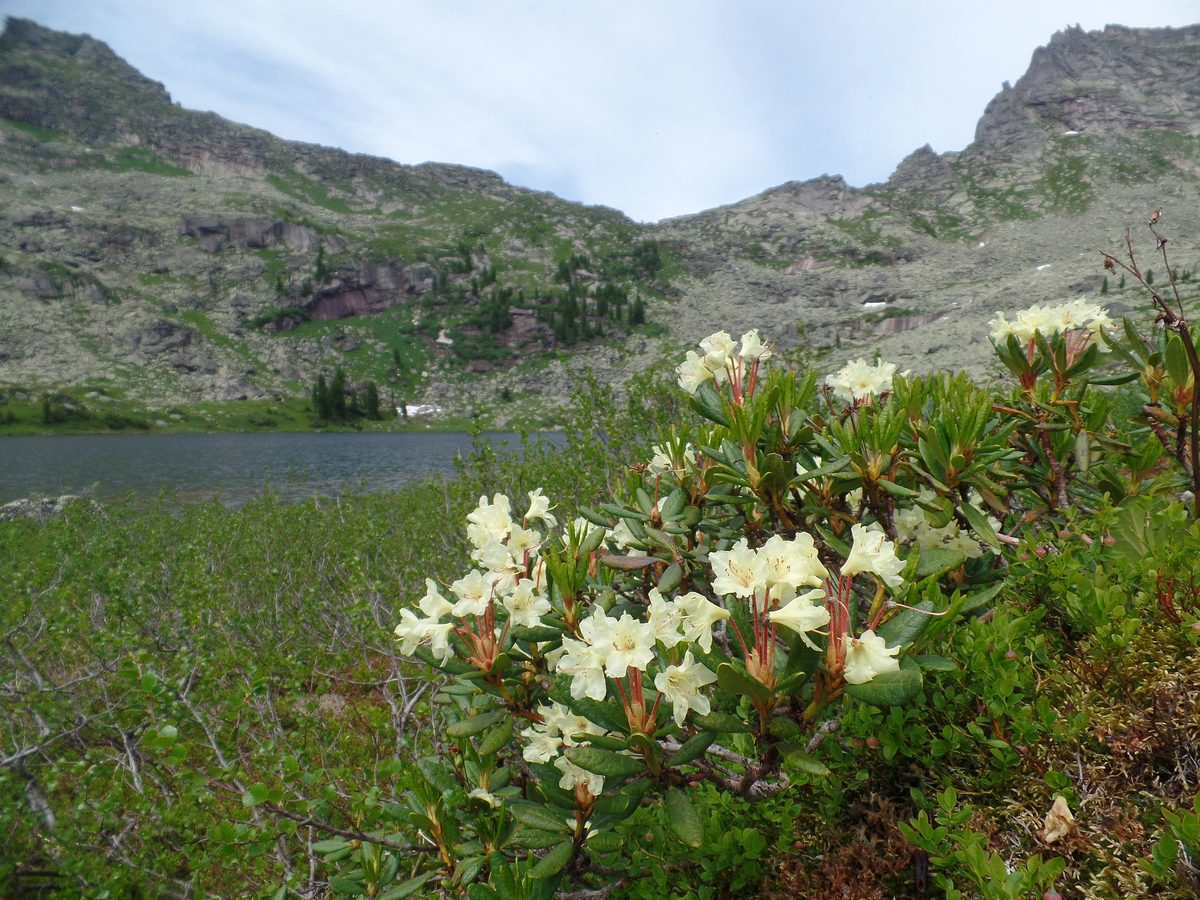 Рододендрон золотистый (Rhododendron aureum). Автор фото:Ольга Кузнецова