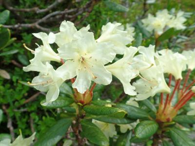 Рододендрон золотистый (Rhododendron aureum) Автор: Ольга Кузнецова