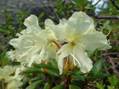 Рододендрон золотистый (Rhododendron aureum). Автор: Ольга Кузнецова