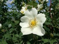c:белые,околоцветник актиноморфный,лепестков 5,s:листопадные кустарники,f:многоорешек,l:сложные