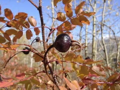 Шиповник колючейший (Rosa spinosissima) Автор фото: Ольга Кузнецова