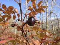 Шиповник колючейший (Rosa spinosissima)
