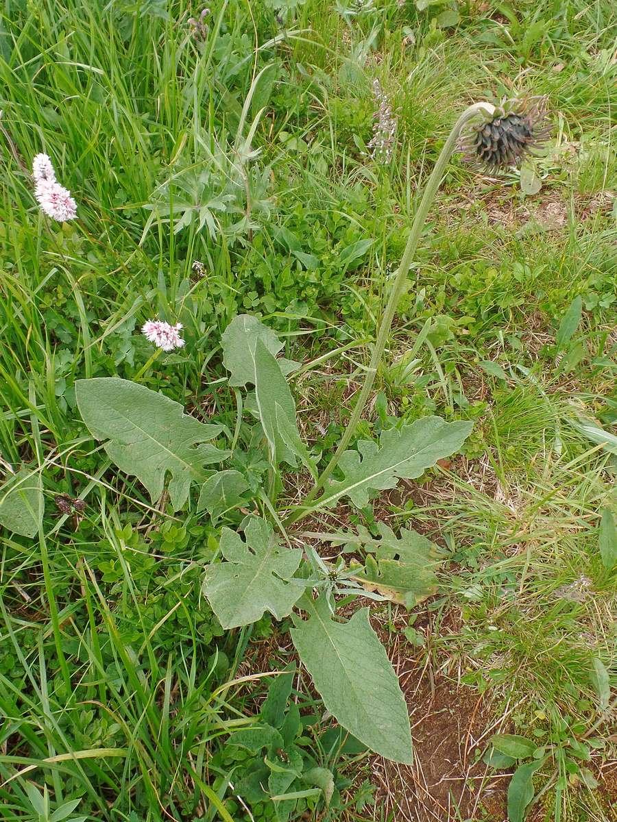 Соссюрея Фролова (Saussurea frolowii). Автор фото:Ольга Кузнецова