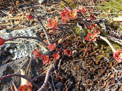 Очиток гибридный (Sedum hybridum) Автор фото: Ольга Кузнецова