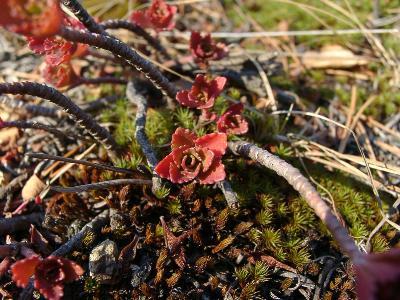 Очиток гибридный (Sedum hybridum) Автор: Ольга Кузнецова