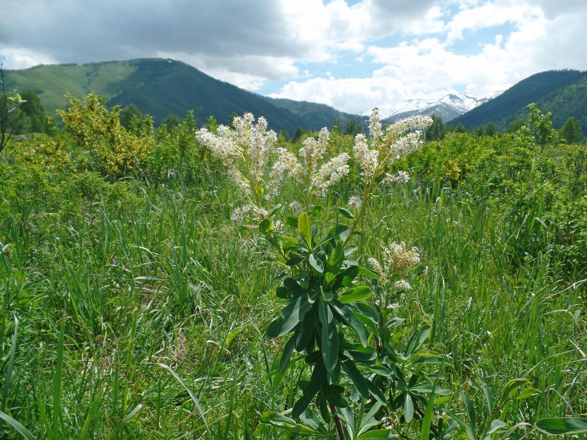 Сибирка гладкая (Sibiraea laevigata). Автор фото: Ольга Кузнецова