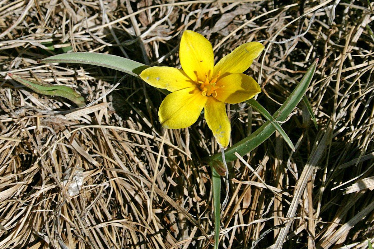 Тюльпан одноцветковый (Tulipa uniflora) Автор фото: Ольга Кузнецова