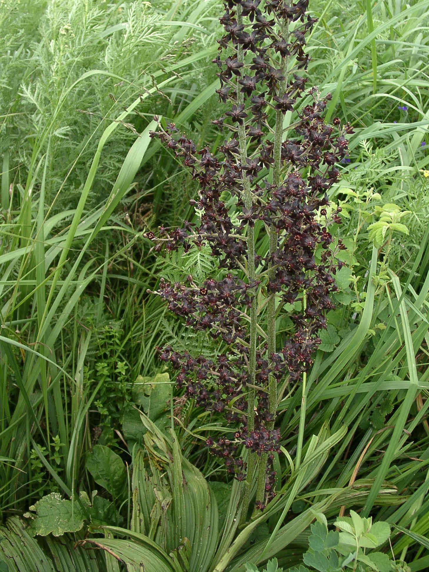 Чемерица черная (Veratrum nigrum) Автор фото: Ольга Кузнецова