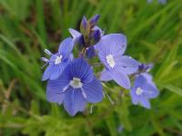 s:травянистые,i:редкие и охраняемые,i:многолетние,l:супротивные,соцветия - кисть,лепестков 4,околоцветник актиноморфный,околоцветник зигоморфный,b:прямостоячий