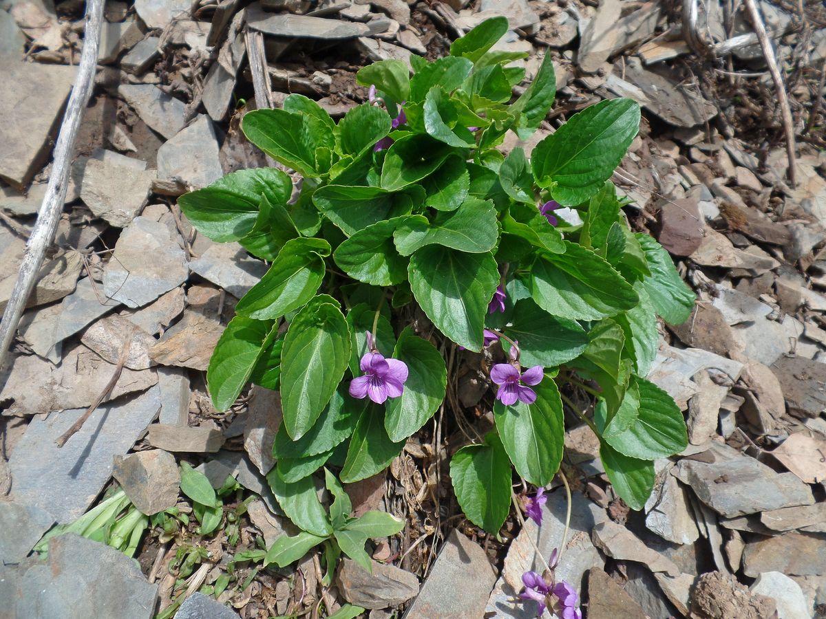 Фиалка крупношпорцевая (Viola macroceras). Автор фото:Ольга Кузнецова