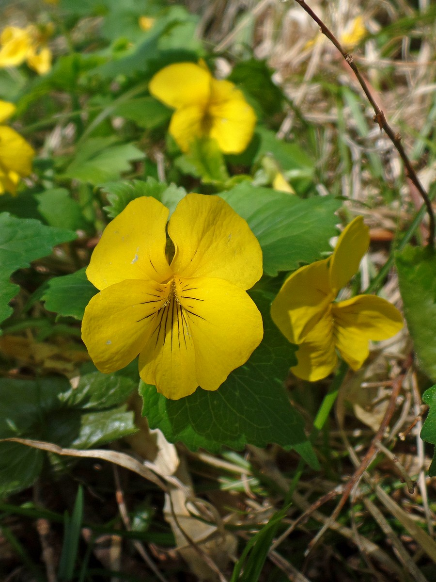Фиалка одноцветковая (Viola uniflora). Автор фото:Ольга Кузнецова