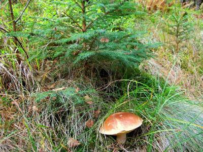 Белые, еловой формы. Для себя я их делю еще и на полевую и лесную форму, а также на экземпляры с темно коричневыми шляпками Автор фото: Сергей Козлан