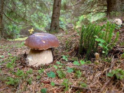 Белые, еловой формы. Для себя я их делю еще и на полевую и лесную форму, а также на экземпляры с темно коричневыми шляпками. Автор фото: Сергей Козлан