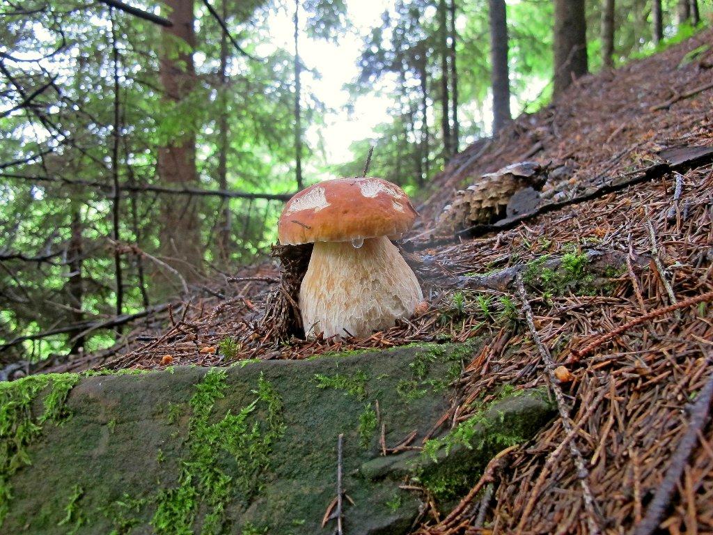 Белый гриб еловый. Автор фото: Сергей Козлан