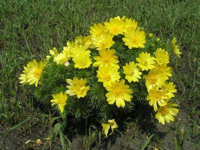 Адонис весенний (Adonis vernalis) Автор: Константин Теплов
