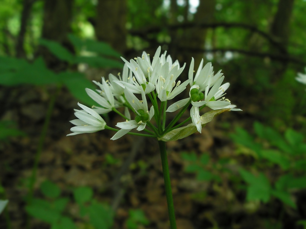 Allium ursinum. Автор фото: Константин Теплов
