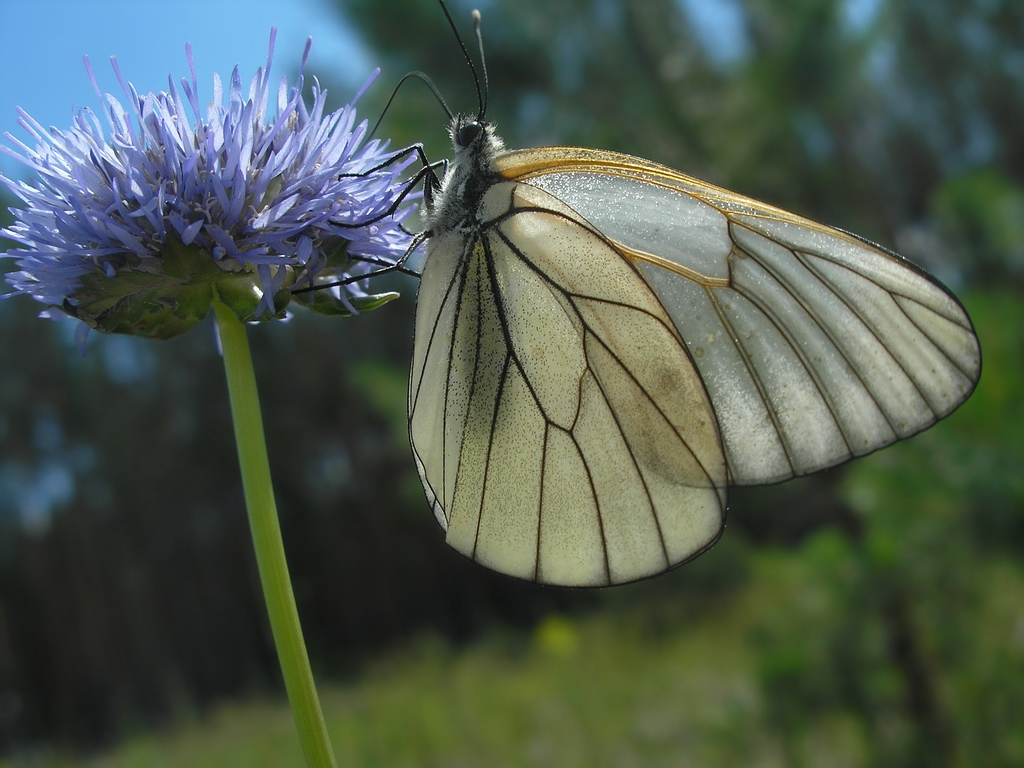 Aporia crataegi. Автор фото: Константин Теплов