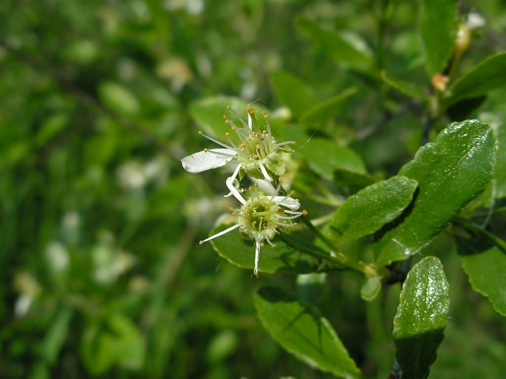 Cerasus fruticosa. Автор фото: Константин Теплов