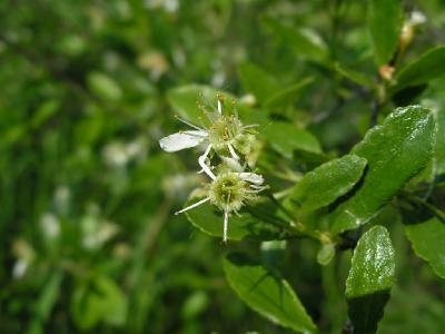 Отцветающая Вишня кустарниковая, или Степная вишня (Cerasus fruticosa Pall. (1784)) - Серпуховский район. 3-я категория (редкий вид, распространенный на ограниченной территории). В Московской области находится на северной границе ареала и встречается лишь в южных районах. Степная вишня - кустарник около 1,5 м высотой. Размножается преимущественно вегетативным путем: корни дают корневые отпрыски и способны ежегодно прирастать на 50-100 см в длину. Вместе с другими степными кустарниками образует лесную опушку - авангард наступления леса на степные участки. Засухоустойчив и в целом нетребователен к почвам.  Автор фото: Константин Теплов