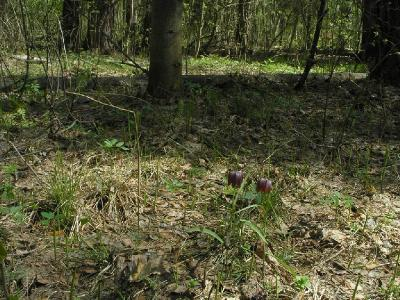 Рябчик шахматный (Fritillaria meleagris L. (1753)) - Серпуховский район. Автор фото: Константин Теплов