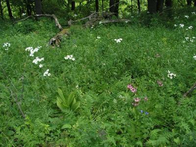 Лилия опушённая (Lilium pilosiusculum (Freyn) Miscz. (1911)) - Серебряно-Прудский район. 4-я категория (вид неопределенного статуса). В Московской области ранее был известен как хорошо сохраняющийся в местах посадок в старых парках и усадьбах. В 2007 году в Серебряно-Прудском районе  найдена небольшая природная популяция на северной границе ареала вида.  Произрастает на лесных опушках и полянах в широколиственных и смешанных лесах. Требователен к богатству почв, нередко растет на карбонатных субстратах. Автор фото: Константин Теплов