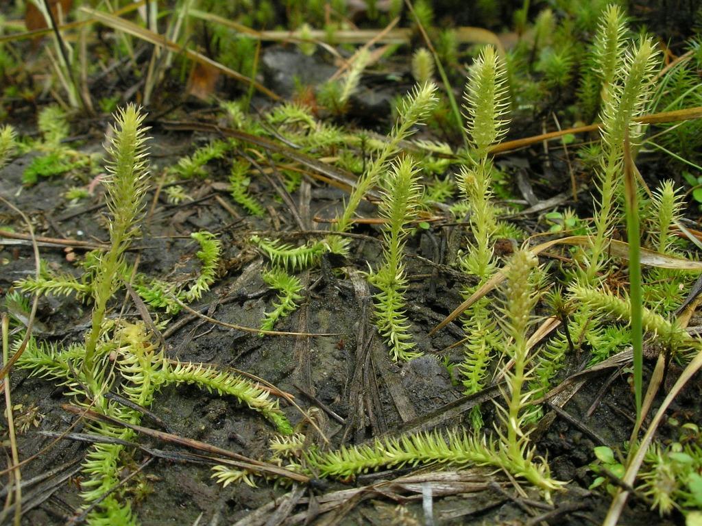 Lycopodiella inundata. Автор фото: Константин Теплов