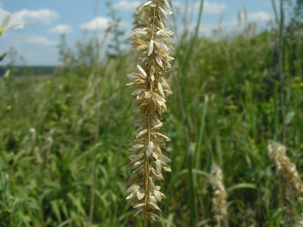 Melica altissima. Автор фото: Константин Теплов