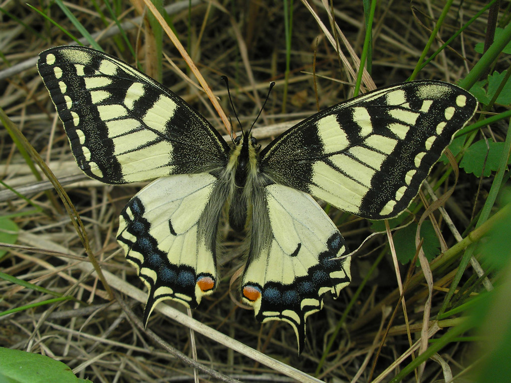 Papilio machaon. Автор фото: Константин Теплов