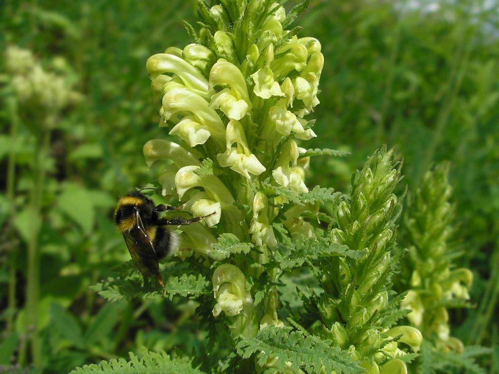 Pedicularis kaufmannii. Автор фото: Константин Теплов