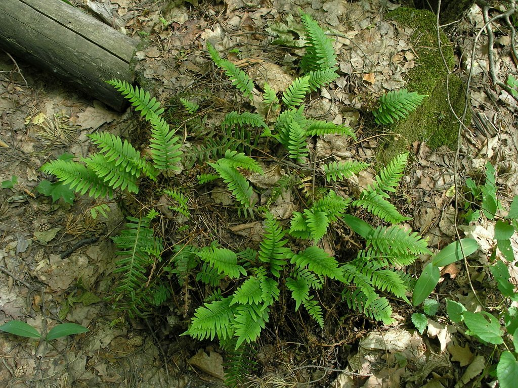 Polypodium vulgare. Автор фото: Константин Теплов