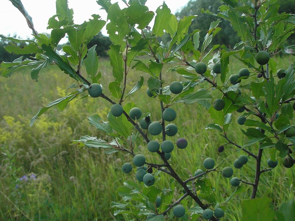 Prunus spinosa. Автор фото: Константин Теплов