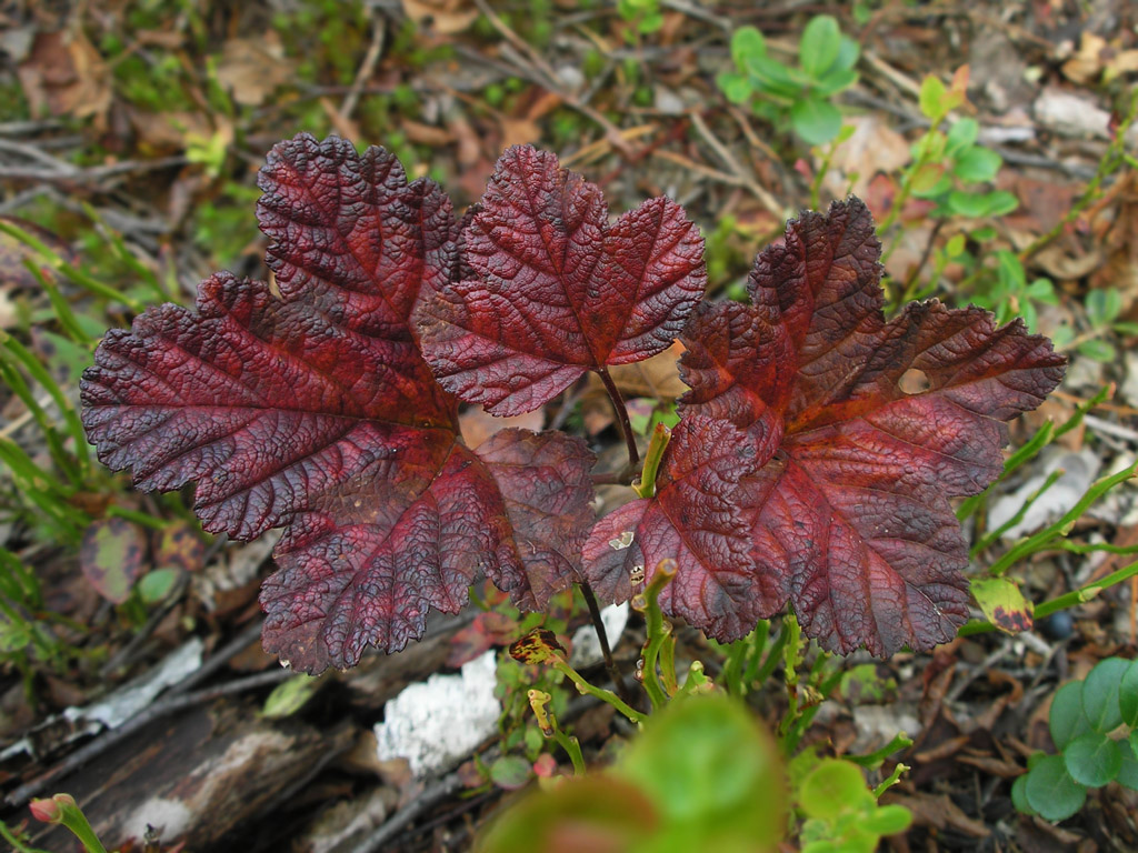 Rubus chamaemorus. Автор фото: Константин Теплов