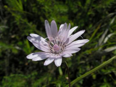 Козелец пурпурный (Scorzonera purpurea L. (1753)) - Серебряно-Прудский район. 2-я категория (вид, сокращающийся в численности). Вид луговых степей, тесно связанный с чернозёмными почвами. Произрастает на остепненных  лугах, в разреженных борах и по опушкам. Автор фото: Константин Теплов